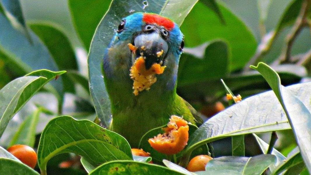 double eyed fig parrot
