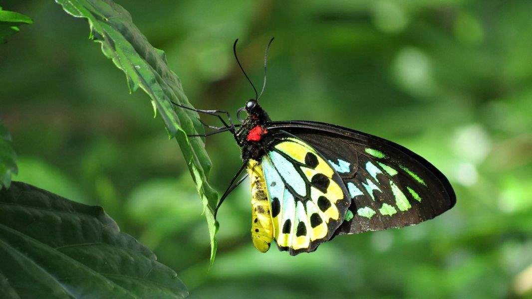 spotted birdwing