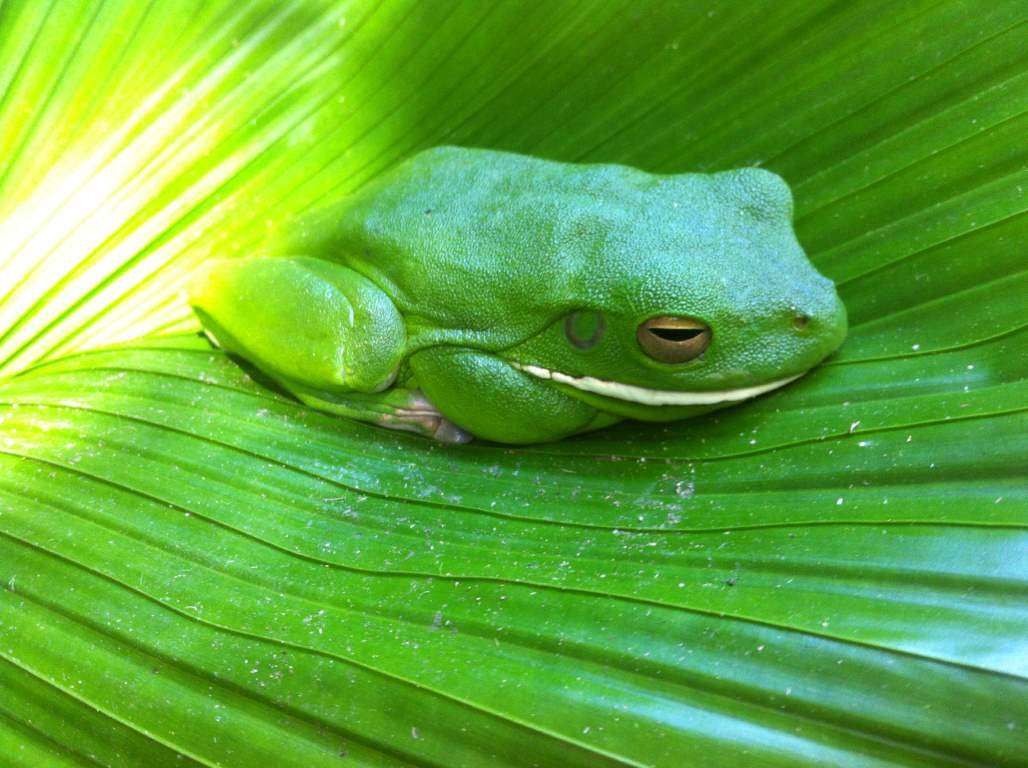 white lipped tree frog